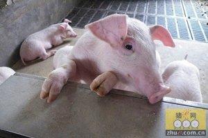 年出栏500头肥猪是在猪界混的最低标准,未来什么样的人适合养猪?