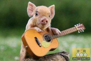 猪价位居高位 养猪为何还有风险