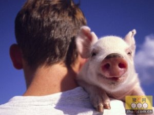 加拿大:弱势加元有望维持生猪产业利润