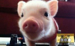 日本同意降低自TPP伙伴进口的猪肉关税