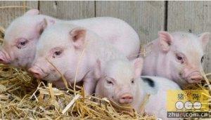 弱仔对养猪业的危害与成因