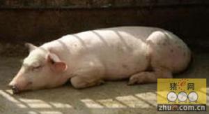 容易被误诊的猪病――弓形虫病