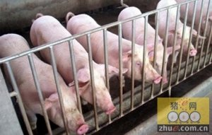 猪场必须以生产性能优良的杂交猪为根本