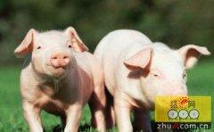 种猪引进的细节措施