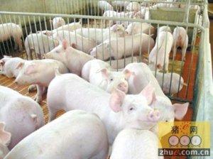 湘潭沙子岭猪养殖技术获省一等奖