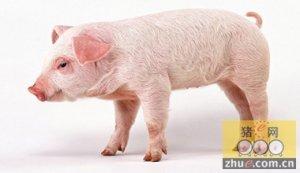 猪体表发白为哪般?