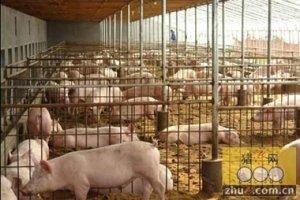 71岁老人养600头猪 百年老店只认他的猪
