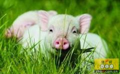 从养殖前端保证猪只安全―李曼养猪大会聚焦如何健康养猪