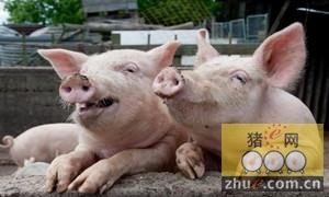 小猪咳嗽不算病 一旦喘起来要人命