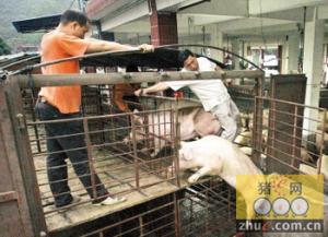 河南:猪贩收到13万生猪后失联玩蒸发