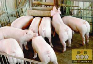 家庭猪场设备――水泥保温床
