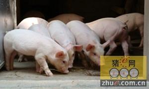 精品猪取得流通许可证 享受中医药保健