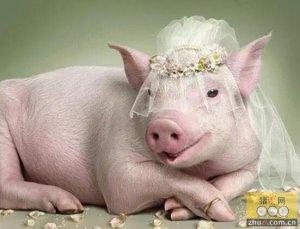 保障哺乳母猪高泌乳量和断奶发情率,看看人家猪场是怎么做的!