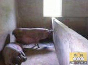 太湖猪:一个偏远保种场的十年坚守