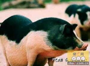 海南农科院成功克隆五指山猪