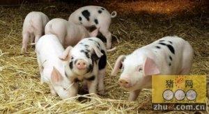 猪的生物经济学――帮助猪只维持健康的状态
