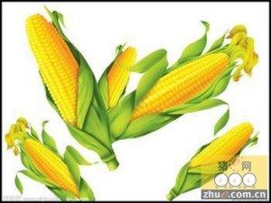 新季玉米上市 供需失衡玉米下跌