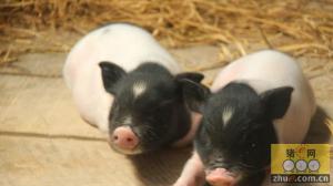 浅谈生态养殖野猪、香猪的心得和未来发展前景
