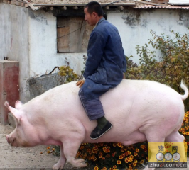 """河北张家口:重1200斤猪获主人特颁""""免死令"""""""