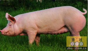 美国成为最大的种猪对华出口国的原因