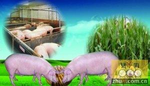 玉米价格走低 生猪价格回落