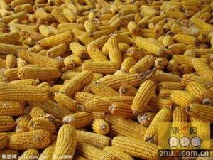 【央视调查】玉米收购价七年来首次下跌的背后