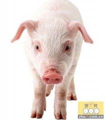 猪繁殖与呼吸综合征病毒显形