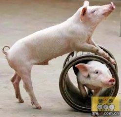 猪价逼近8元 猪粮比依然达8.5:1