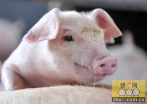 北方猪价有望率先启动回升趋势