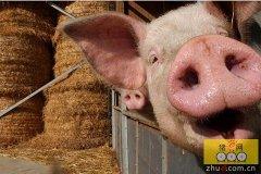 养猪场饮水设备是猪场不可缺少