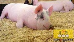 十种常见饲料不能喂猪