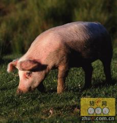 运输车侧翻 210头猪只有50多头活下来