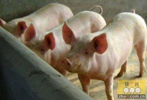 全国最大猪场探秘:一个饲养员喂1万头猪
