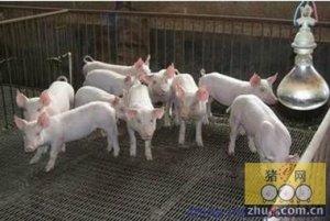 猪舍温度是猪群健康的基本保证
