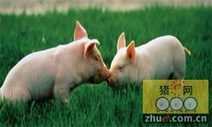 猪不吃不喝能挺几天?
