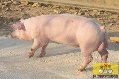 新建猪场后备母猪引进的五大关键点