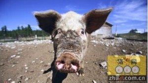 摩尔多瓦:非洲猪瘟每年来袭