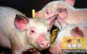 美国:提高豆粕用量有助于对抗仔猪蓝耳病毒感染
