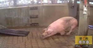揭发屠宰场涉虐猪 猪吓得发抖