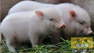 爱荷华州立大学:基因突变导致猪免疫系统缺陷