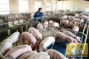 冬季养猪注意防风防潮