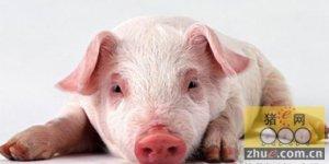 """猪只高发的典型应激性疾病""""水肿""""的诊治过程"""