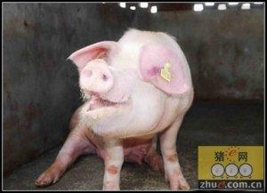 冬季养猪必备: 猪常发呼吸道疾病的鉴别诊断