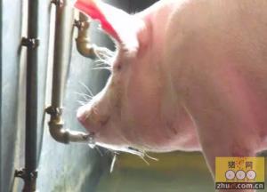 猪场饮水器使用小秘籍