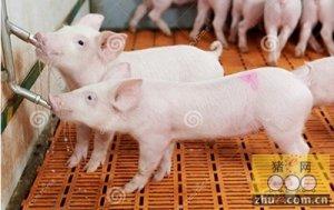 烟台生猪价格趋于稳定 养殖形势依然乐观