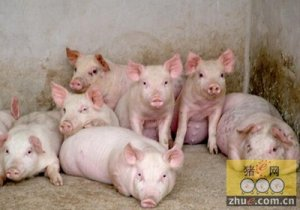 消费旺季到来猪价将高位震荡
