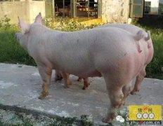 如何选育后备母猪