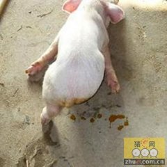 猪流行性腹泻病毒仍然活跃在美国猪群中