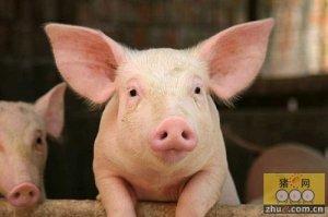 猪水肿病临床症状
