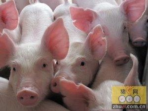 广东生猪市场:生猪产区销量理想